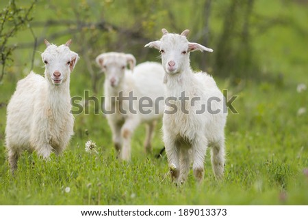 Young goats running on green grass in spring - stock photo