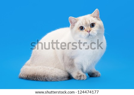 young golden color point british kitten on light blue background - stock photo