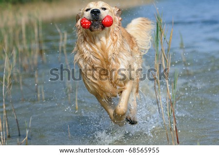 young Golden Retriever is happy on the beach - stock photo