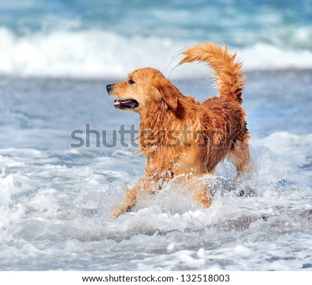Young golden retriever running on the beach - stock photo
