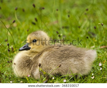 Young gosling - stock photo