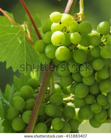 Young grape wine in the vineyard on a sunny day - stock photo