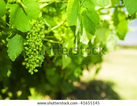 young grapes - stock photo