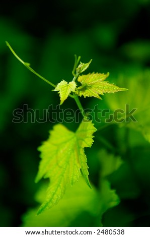 Young grapevine leaves in early summer, shallow DOF - stock photo