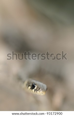 young grass snake  (Natrix natrix) in low deep of field - stock photo