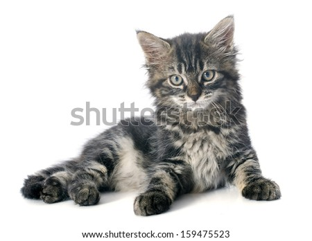 young gray kitten in front of white background - stock photo