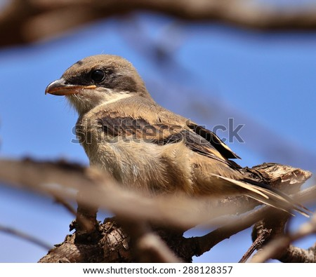 Young gray shrike among branches looking attentively - stock photo