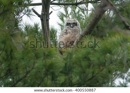 Young Great Horned Owl chick perching on the edge of the nest high up in a conifer tree. - stock photo