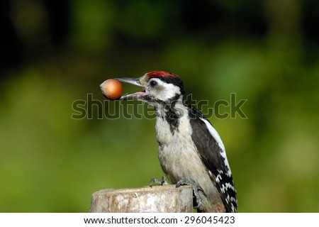Young Great Spotted Woodpecker (Dendrocopos major) with a nut on the feeder. Moscow region, Russia - stock photo