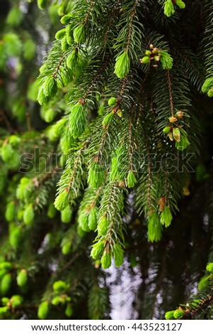 Young green branch of fir tree in forest - stock photo