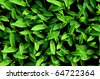 Young green corn, maize, sweet corn seedling in pod - stock photo