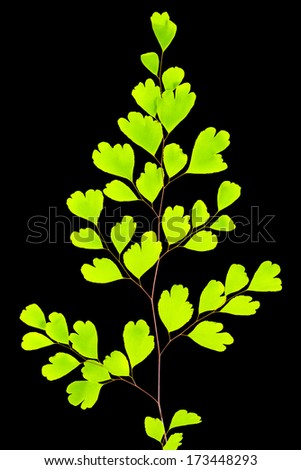 young green fern branch isolated on black  background - stock photo