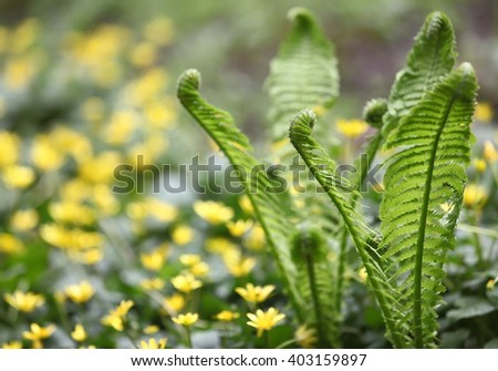 Young green fern leaves, twisted into a spiral of growing on the lawn in the courtyard. Selective focus with shallow depth of field - stock photo