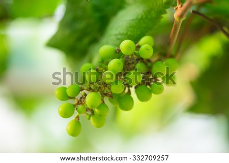 Young green grapes - stock photo