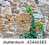 Young green ivy climbing on an ancient wall - stock photo