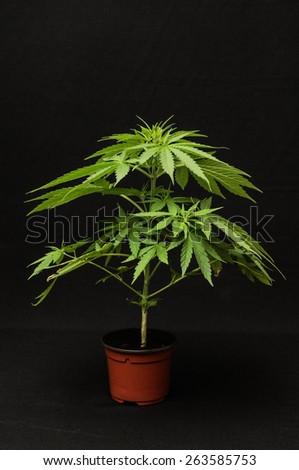 Young Green Leaf Cannabis Indica Plant Marijuana - stock photo