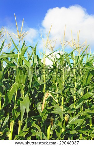 Young green maize plants in a field - stock photo