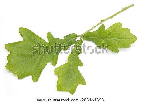 young green oak leaves on a white background - stock photo