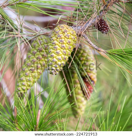 Young green pinecones of mediterranean pine on tree - stock photo