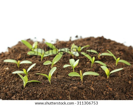 Young green plants in soil isolated on white - stock photo