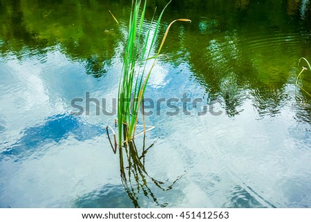 young green reeds and plants and reflection in the water - stock photo