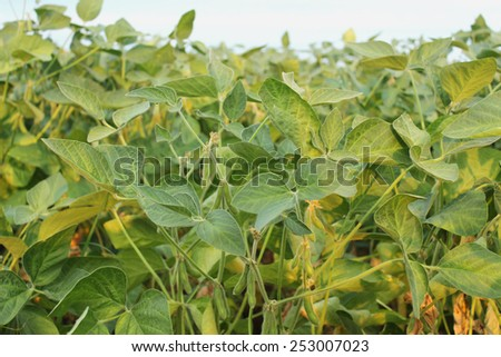 young green soya,soybeans field - stock photo