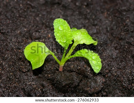 Young green sprout of radish in the ground with dew drops close up. - stock photo