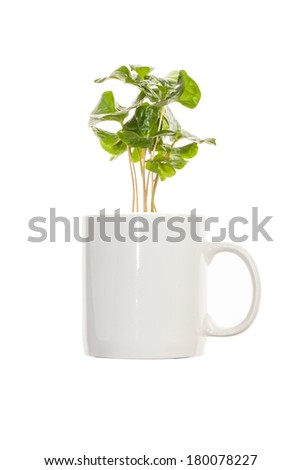 young green sprouts bush of coffee Tree in a cup. Isolated on a white background. - stock photo