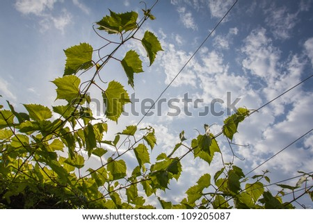 Young green vines in the blue sky - stock photo