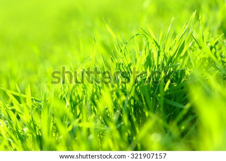 Young green wheat winter crops close-up on the field background sunny and vibrant - stock photo