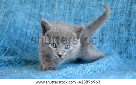 young grey kitten on blue blanket background looking staring forward - stock photo