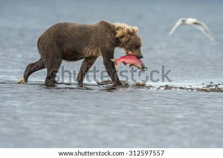 young grizzly bear bringing in salmon from the lake in katmai national forest - stock photo