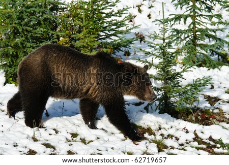 Young Grizzly Bear feeding on berries in the snow, Peter Lougheed Provincial Park, Kananaskis Country Alberta Canada - stock photo