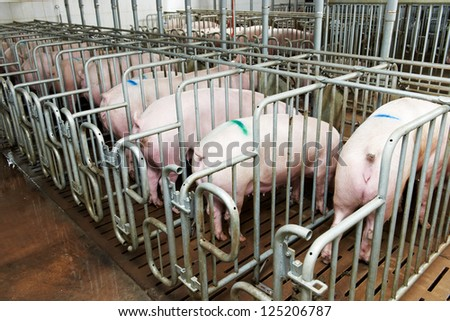 young Group pigs feeding at breeding pig farm - stock photo