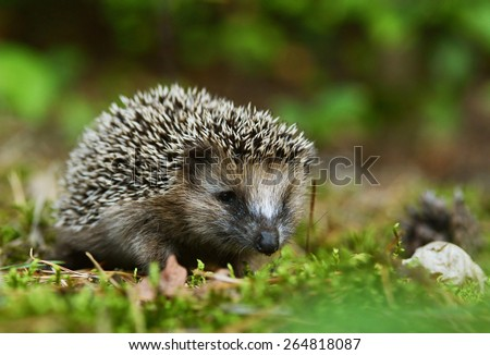Young hedgehog - stock photo