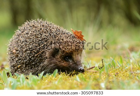 Young hedgehog in the forest - stock photo