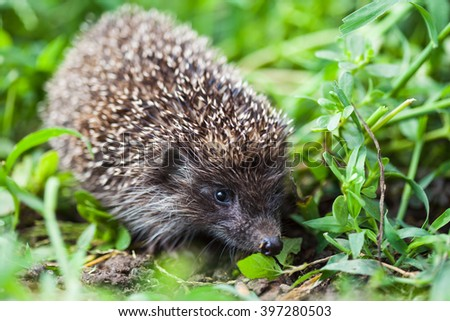 Young hedgehog in the grass - stock photo