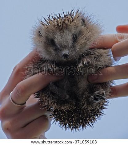 Young hedgehog in the human hands. European hedgehog (Erinaceus europaeus). - stock photo