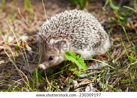 Young hedgehog in their natural habitat - stock photo