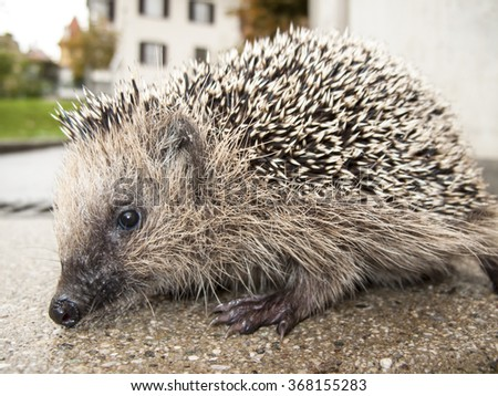Young hedgehog seeking for shelter. - stock photo