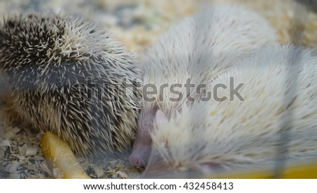 Young hedgehogs hiding. This fun photo of young cute hedgehogs. - stock photo