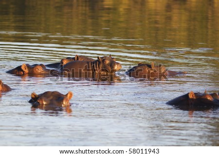 Young hippopotamus on mother's back - stock photo