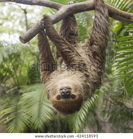 Young Hoffmann's two-toed sloth (Choloepus hoffmanni) on the tree - stock photo
