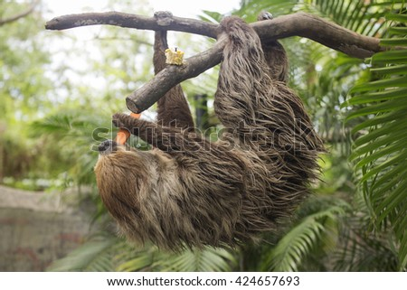 Young Hoffmann's two-toed sloth eating carrot - stock photo