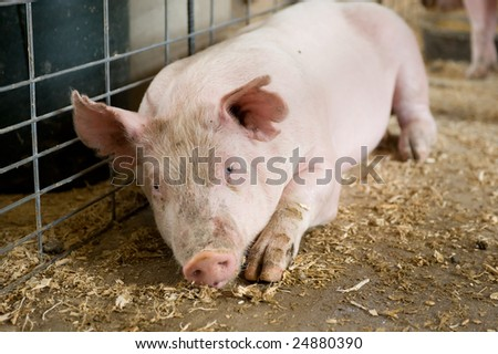 Young hog laying in barn stall. - stock photo