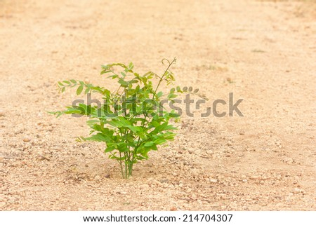 Young hog-plum tree growth on gravel laterite ground - stock photo