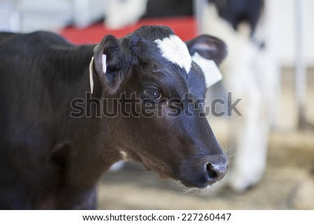 Young Holstein calf in a nursery located on a dairy farm - stock photo