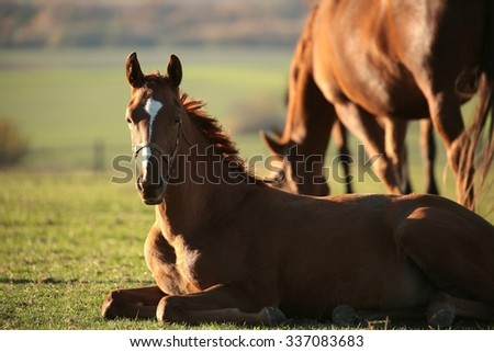 Young horse rests in a pasture. - stock photo