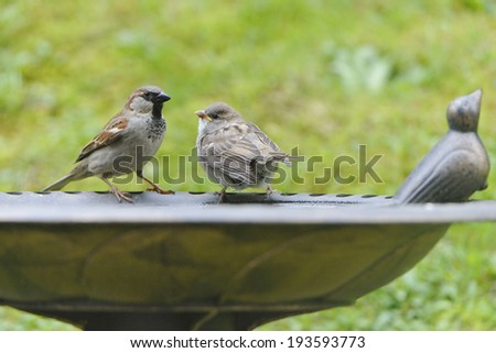 Young House Sparrow on a bird bath. - stock photo