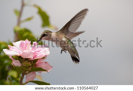 Young Hummingbird feeding on a light pink Hibiscus blossom - stock photo